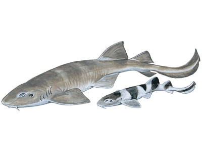 Bluegrey Carpet Shark