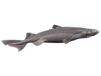 Great Lanternshark