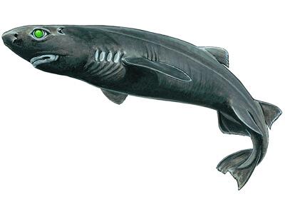 Kitefin shark