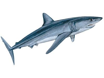 Longfin mako shark