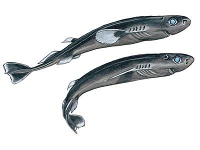 Pygmy shark