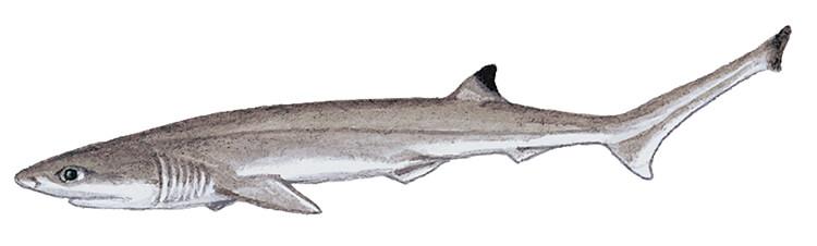 Sharpnose sevengill shark, juvenile