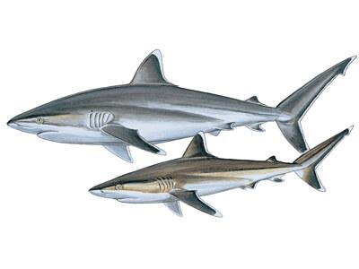 Silvertip shark
