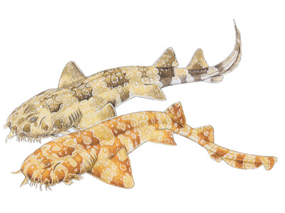 Spotted wobbegong