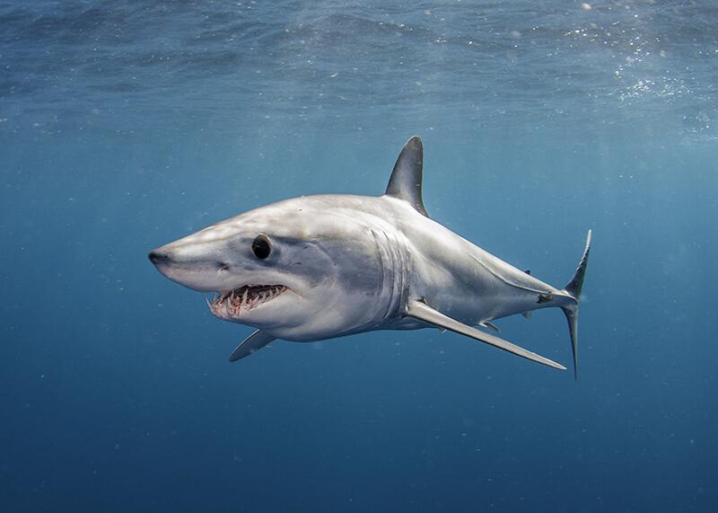 shark-research-institute-mako.jpg