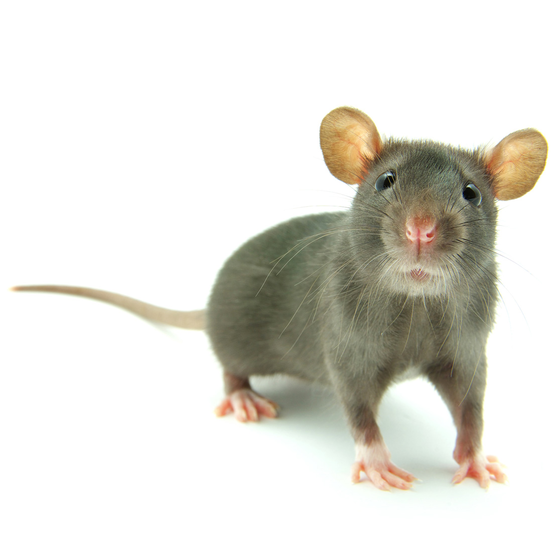 infestation-of-mice-and-rats-1100.jpg
