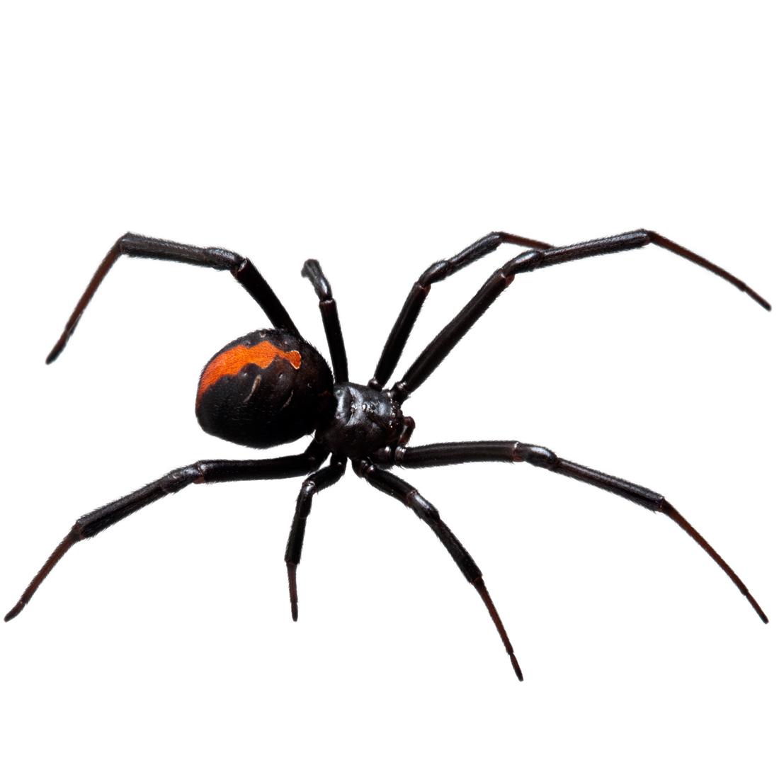 red-back-spider-1100.jpg
