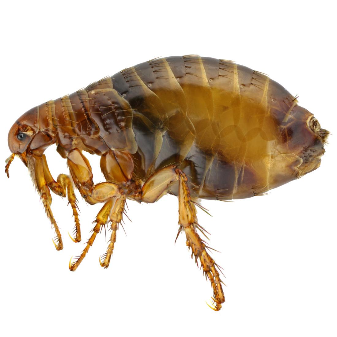 flea-bites-1100.jpg