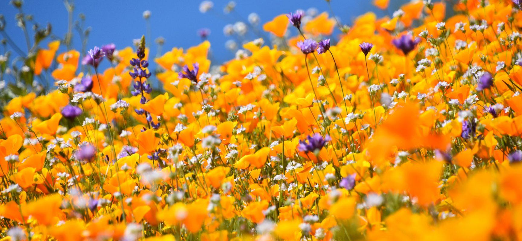 Photo:       Desert Wildflower Super Bloom    by    Rob Bertholf   ,    CC-BY 2.0    via    Flickr   .