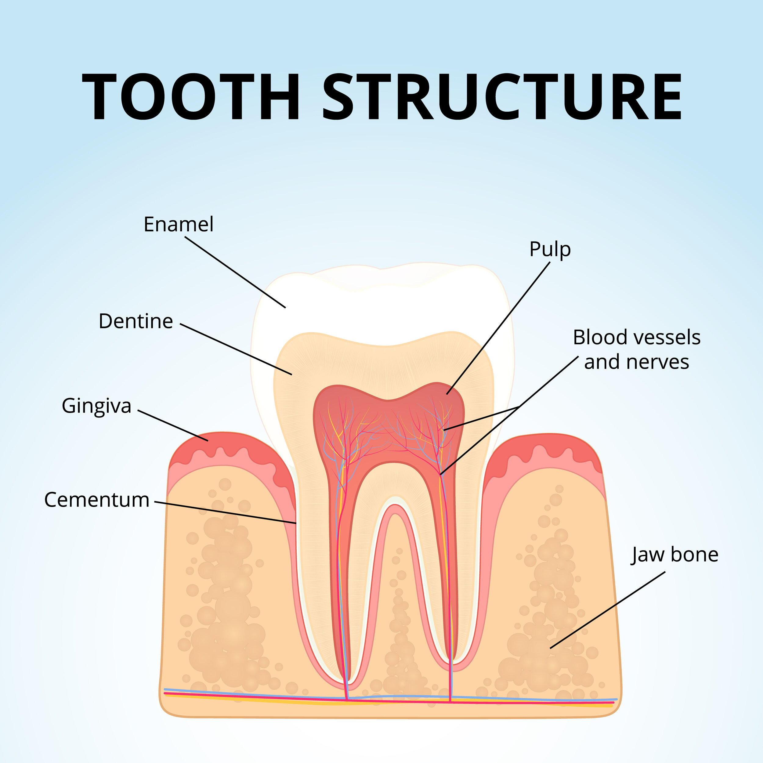Enamel  The Hero Of Your Teeth  U2014 Tulsa Teeth Cleaning