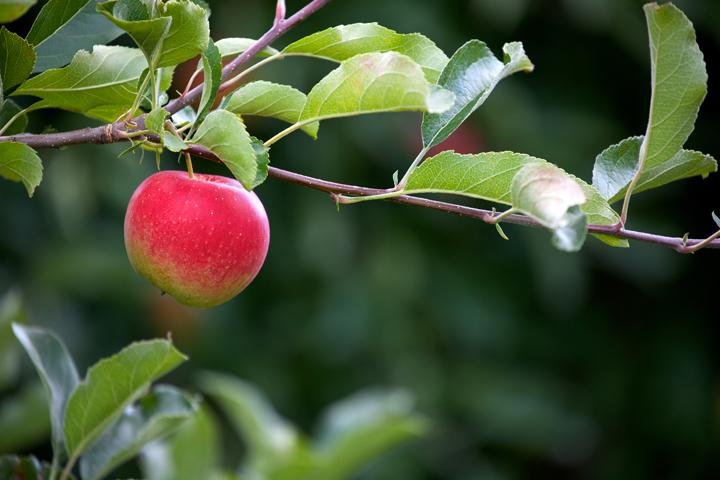 apple_final_2_1.jpg