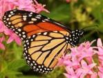 monarch-on-milkweek2-e1367496609604.jpg