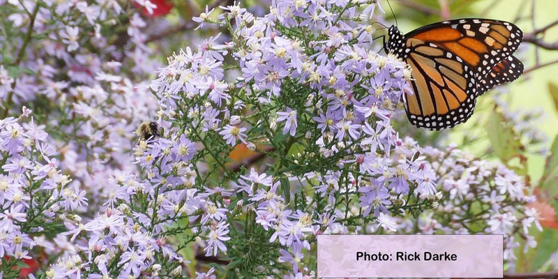 Monarch butterfly and bee photo by Rick Darke.