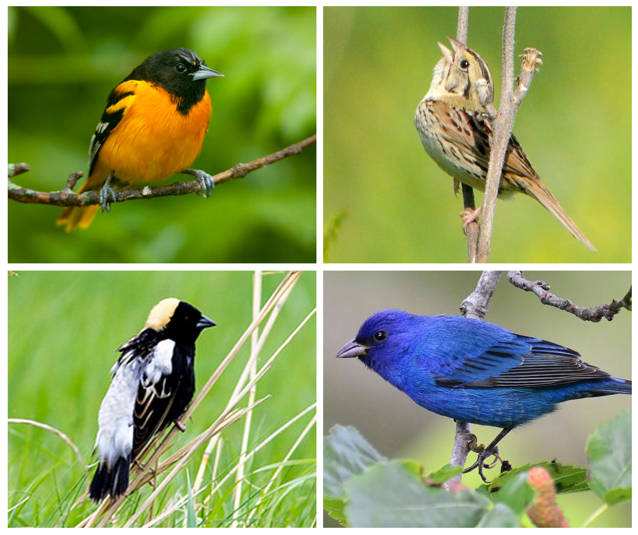 Clockwise from top left, Baltimore Oriole by Laura Gooch, Henslow's Sparrow by Andy Reago & Chrissy McClarren, Indigo Bunting by Gareth Rasberry, all from Creative Commons. Bottom left, Bobolink by Kris DaPra.