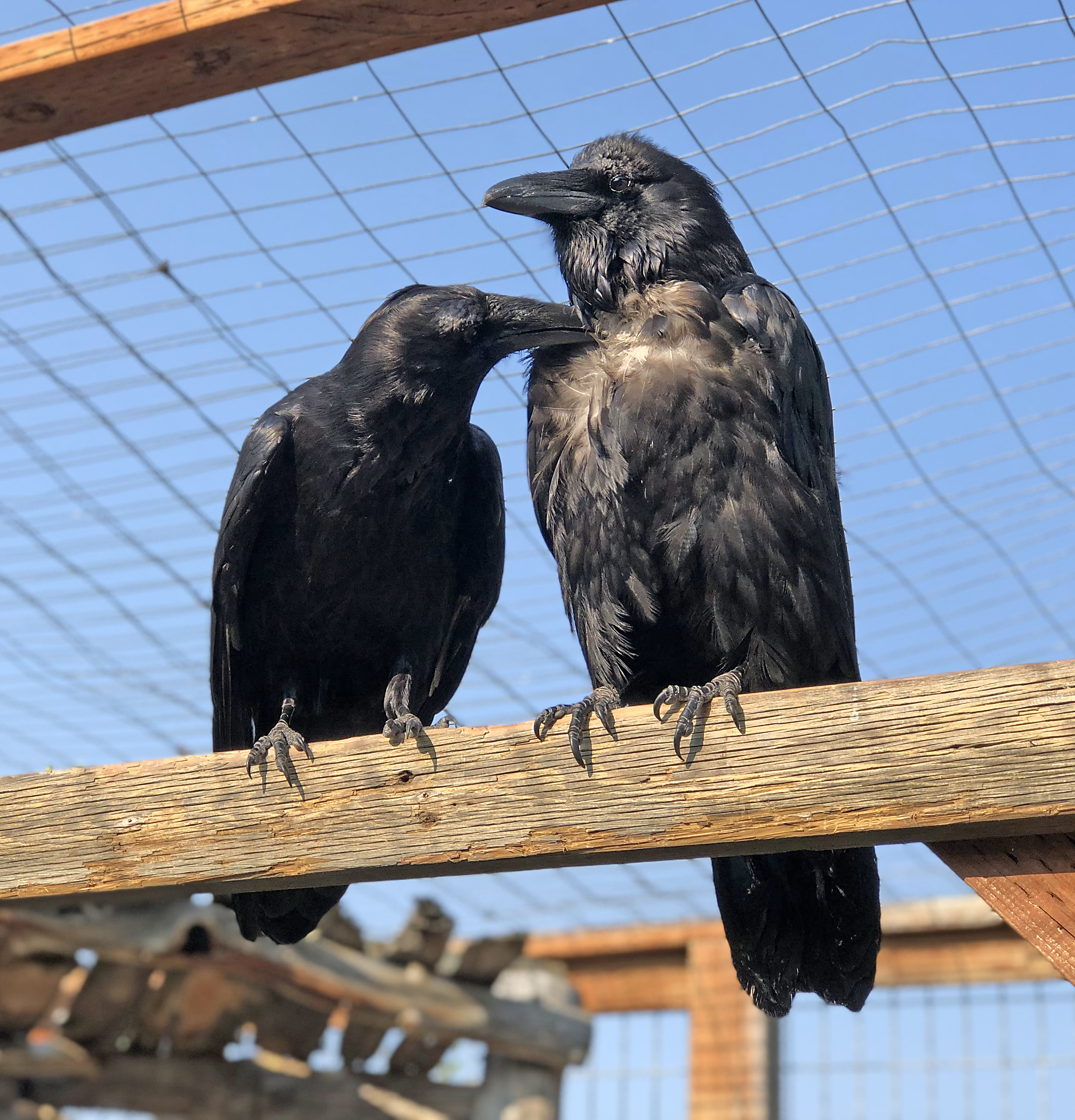 Ravens - Edgar and Allan.png
