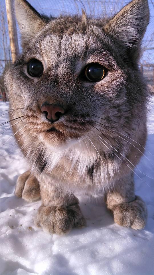 Lynx - Thor Closeup.jpg