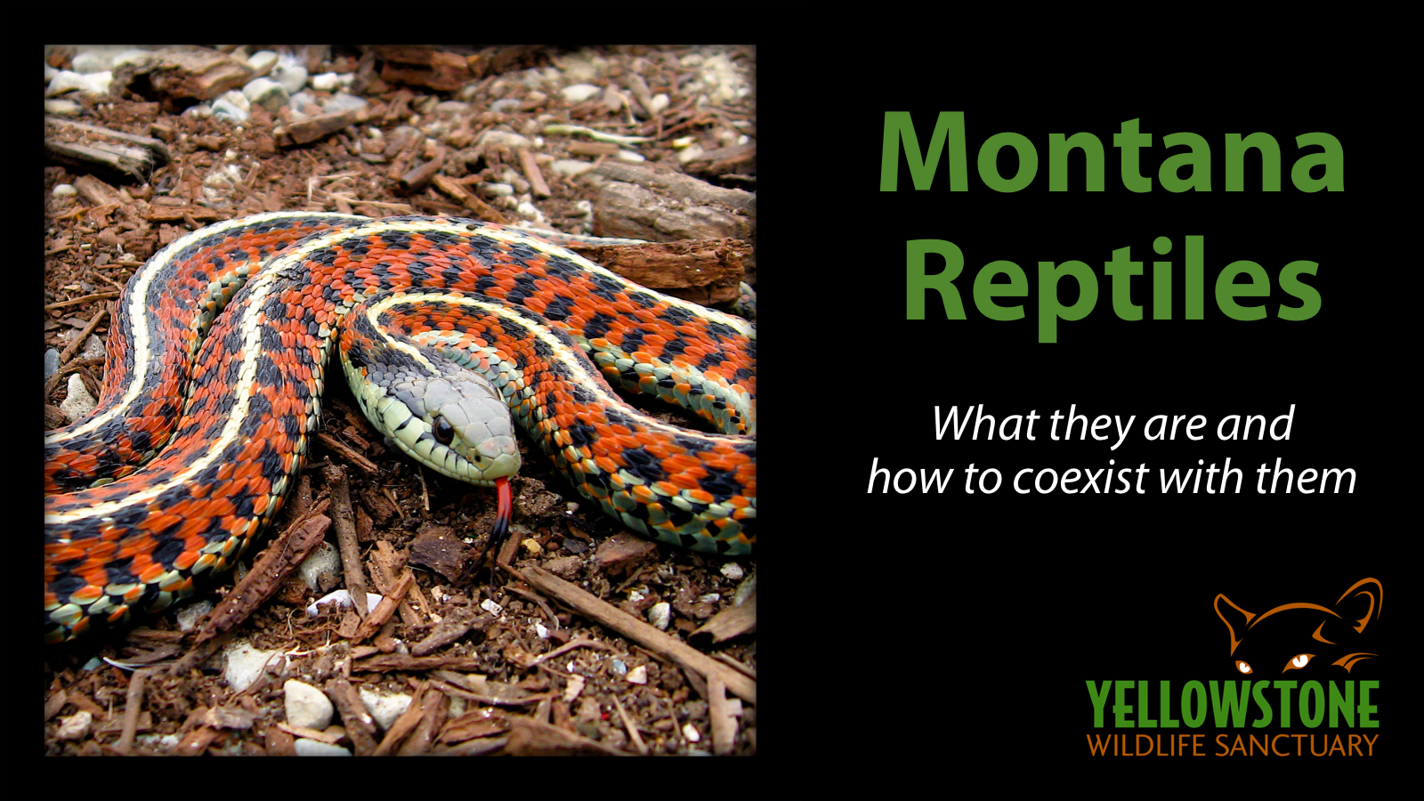 This class can follow  Classifying Yellowstone Mammals  or stand alone. Students will learn about reptiles in general, and then get specific about the ones that live in Montana. We also discuss identifying venomous snakes.