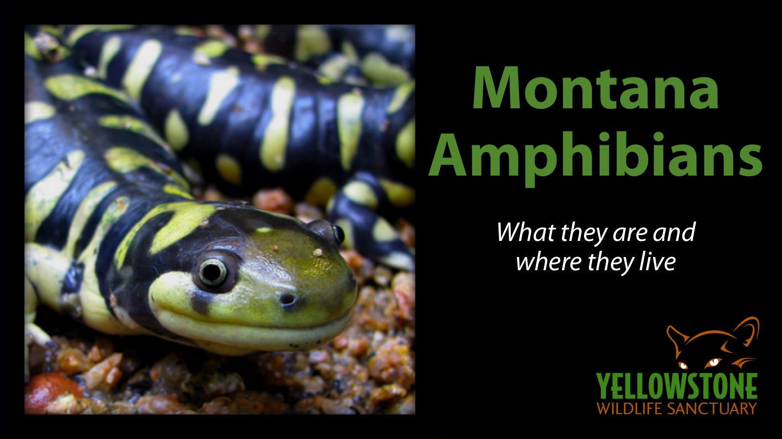 This is a companion class to the mammal and reptile classes. There aren't a lot of amphibians in Montana and Wyoming, but the ones we have are fascinating!