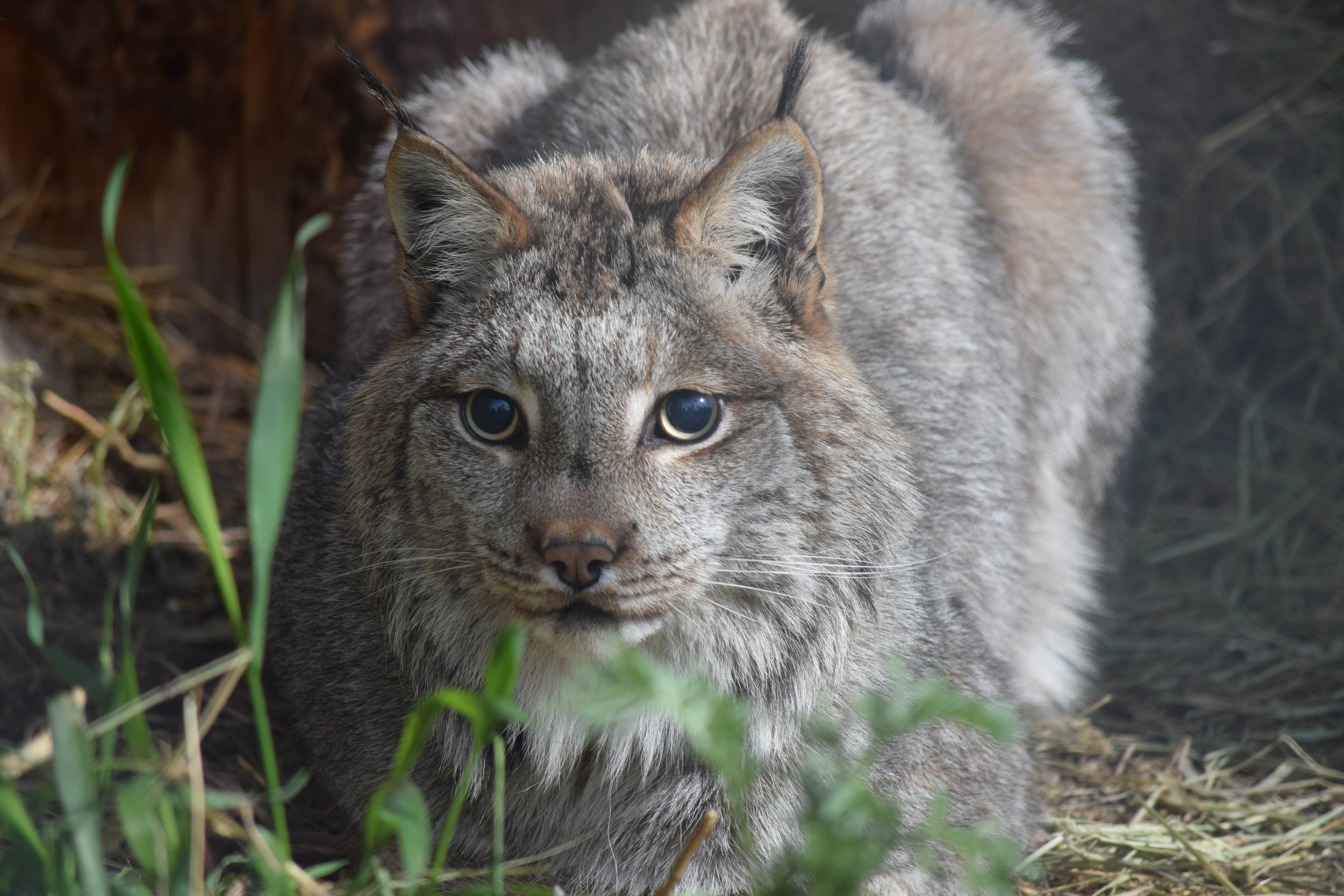 THOR  was born on a fur farm. The person who purchased him from the fur farm ended up bringing him to us for long-term care. Thor has very poor eyesight and never learned to hunt, so he can't be released into the wild. He was born in 2006.