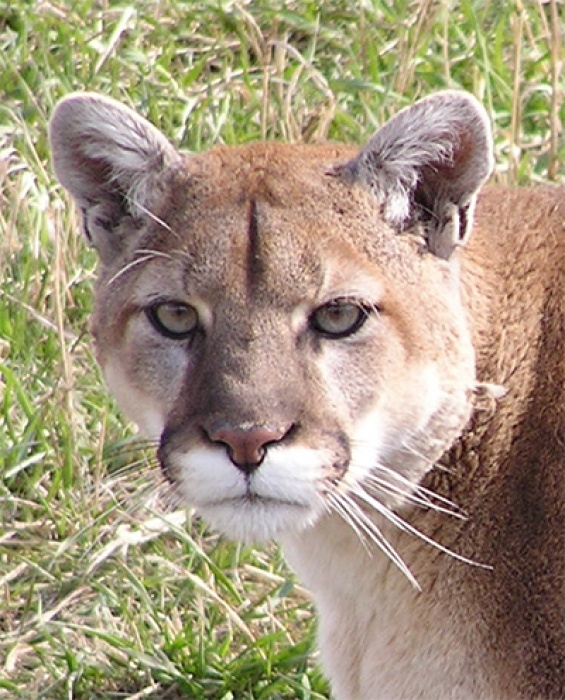 SACAJAWEA  was found in a window well outside of Bozeman in 2007. Her mother had been killed, and Sac was an orphaned, starving, kitten. She was transferred here for long-term care.