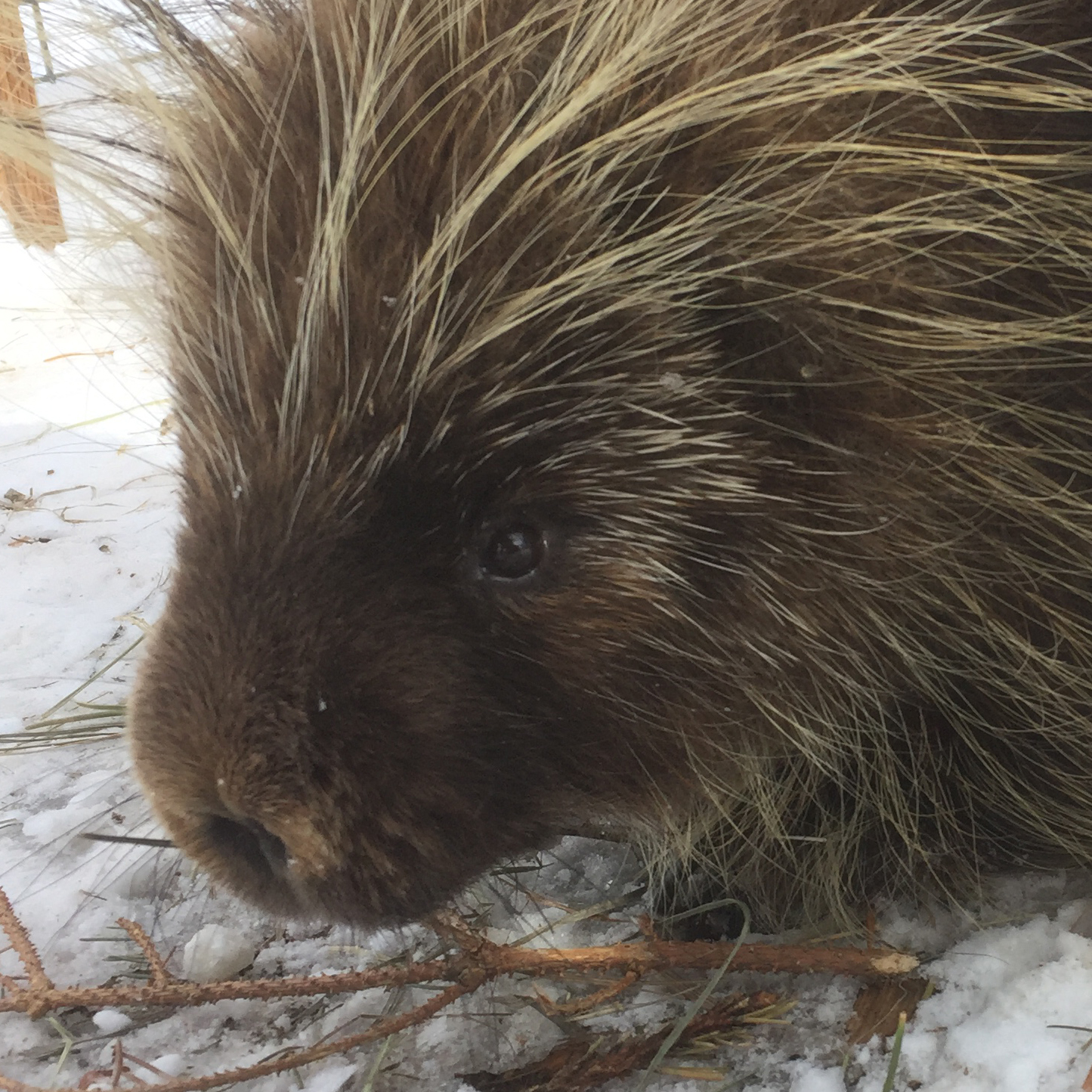 ROCKY , born in 2013, is the older of our two porcupines. He was raised by humans, and became too habituated to people to ever be released into the wild. He is, however, a great ambassador animal, and we use him in many of our educational programs..