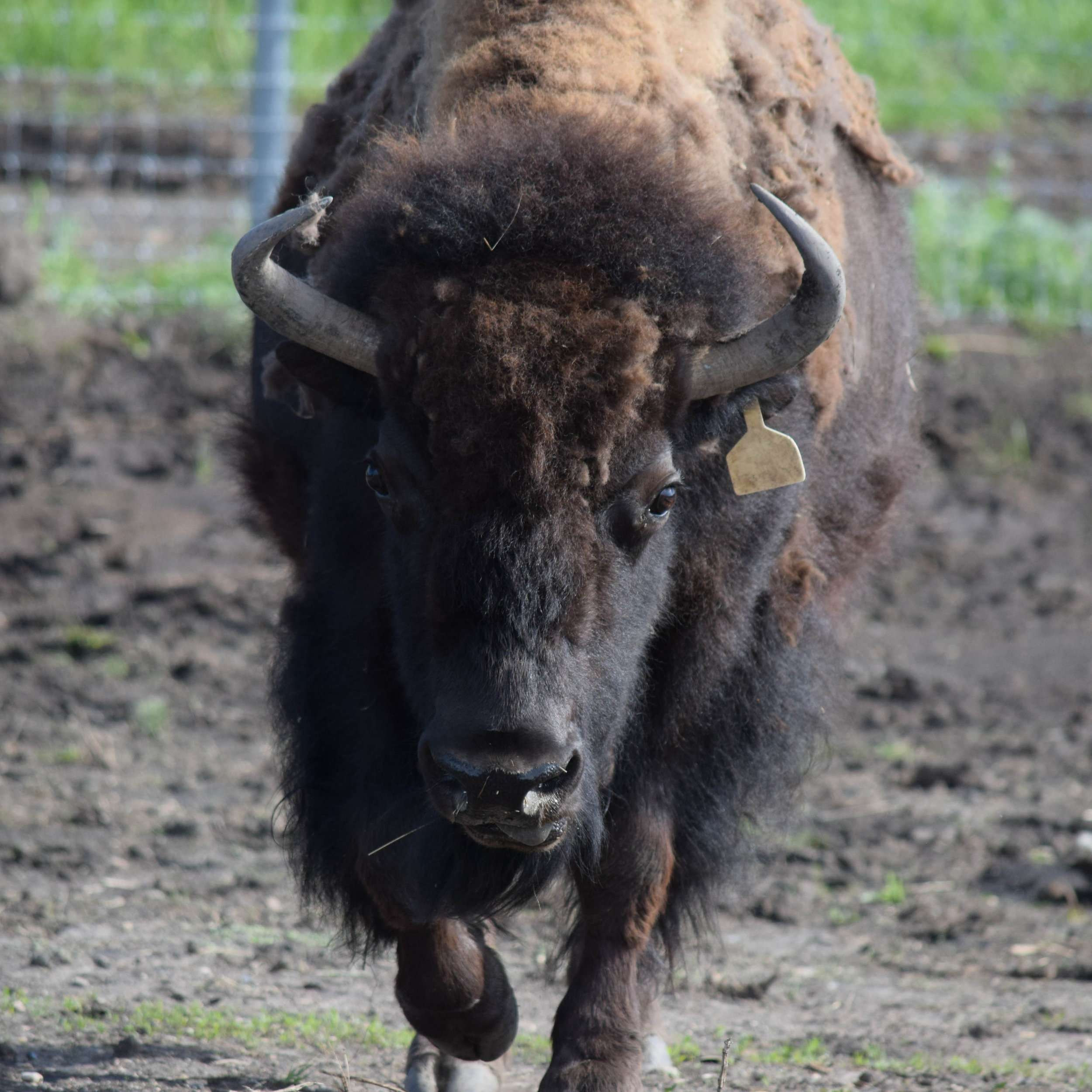 SPEEDY  was born a runt, and was rejected by her mother. She was raised as a pet, and became so habituated that when we tried to release her into the wild, she wouldn't go. She's still small for an American bison — about 750 pounds — but otherwise healthy.