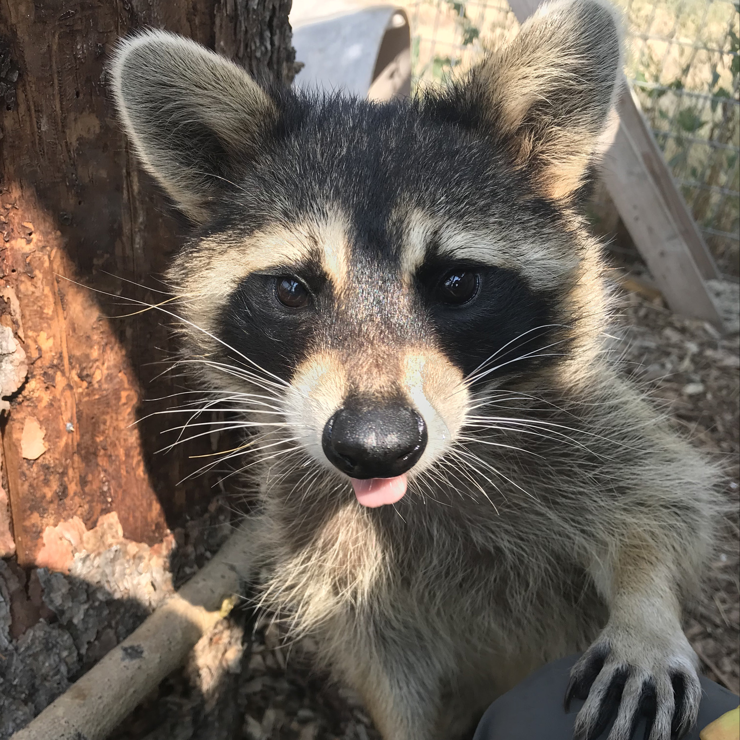 COOPER  is one of our newest animals. He was raised as a pet and is far too habituated to be released into the wild. Despite being cute and sometimes cuddly, raccoons generally make bad pets. They can be destructive, and their moods can change quickly.