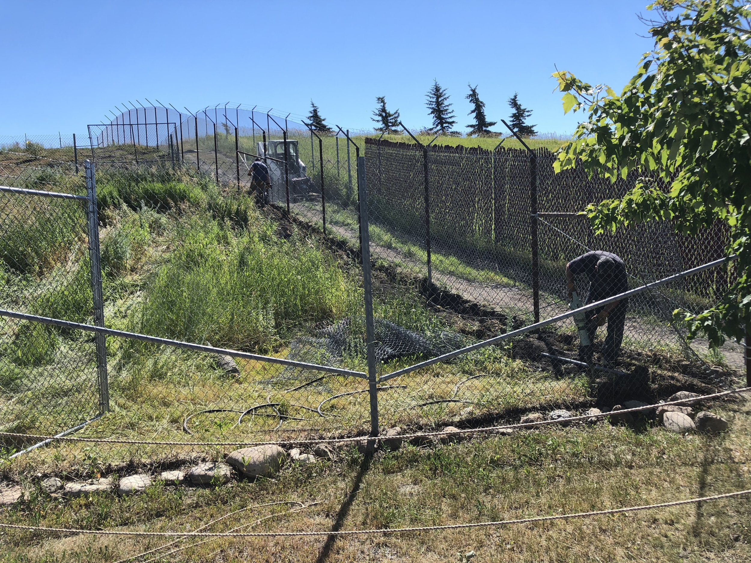 Wolves are excellent diggers, so our staff is laying fencing underground and tying it to the perimeter fence to stop them from digging out.