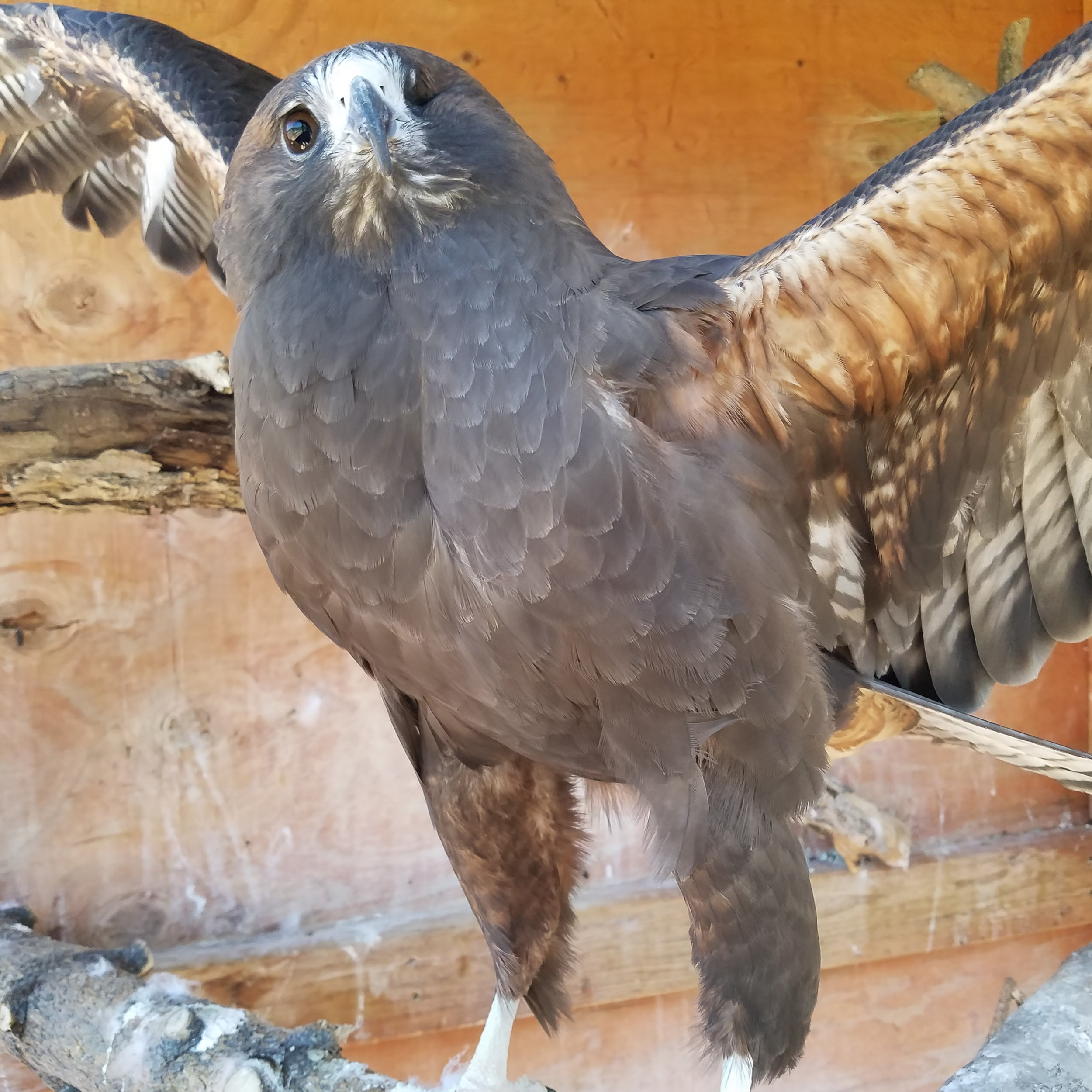 HAWKEYE  came to the Sanctuary in 2005. She was injured as a fledgling and cannot be released into the wild because she is missing her left eye. We believe she was born in August of 2003.