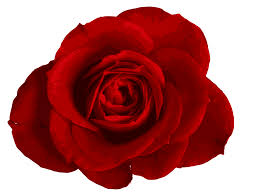 red rose 11 trans back.jpeg