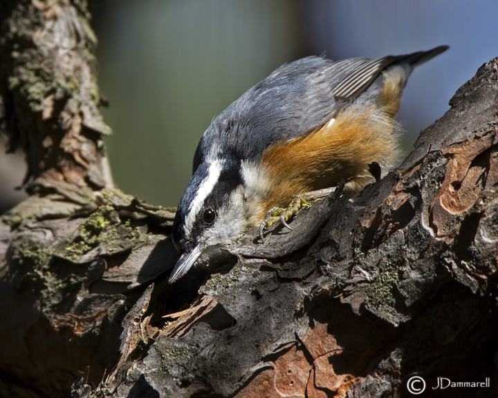 Red-breasted Nuthatch 2.jpg