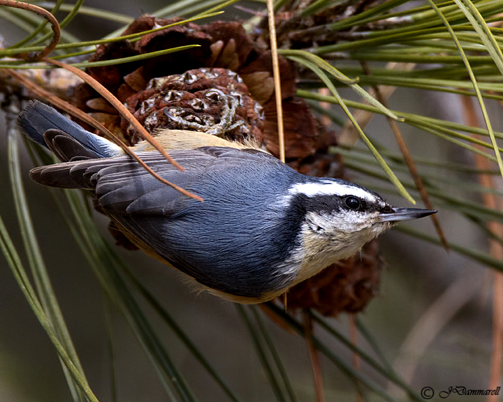 Red-breasted Nuthatch.jpg