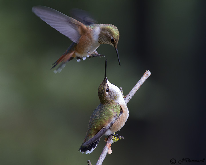 Rufus Hummingbird Challenger.jpg