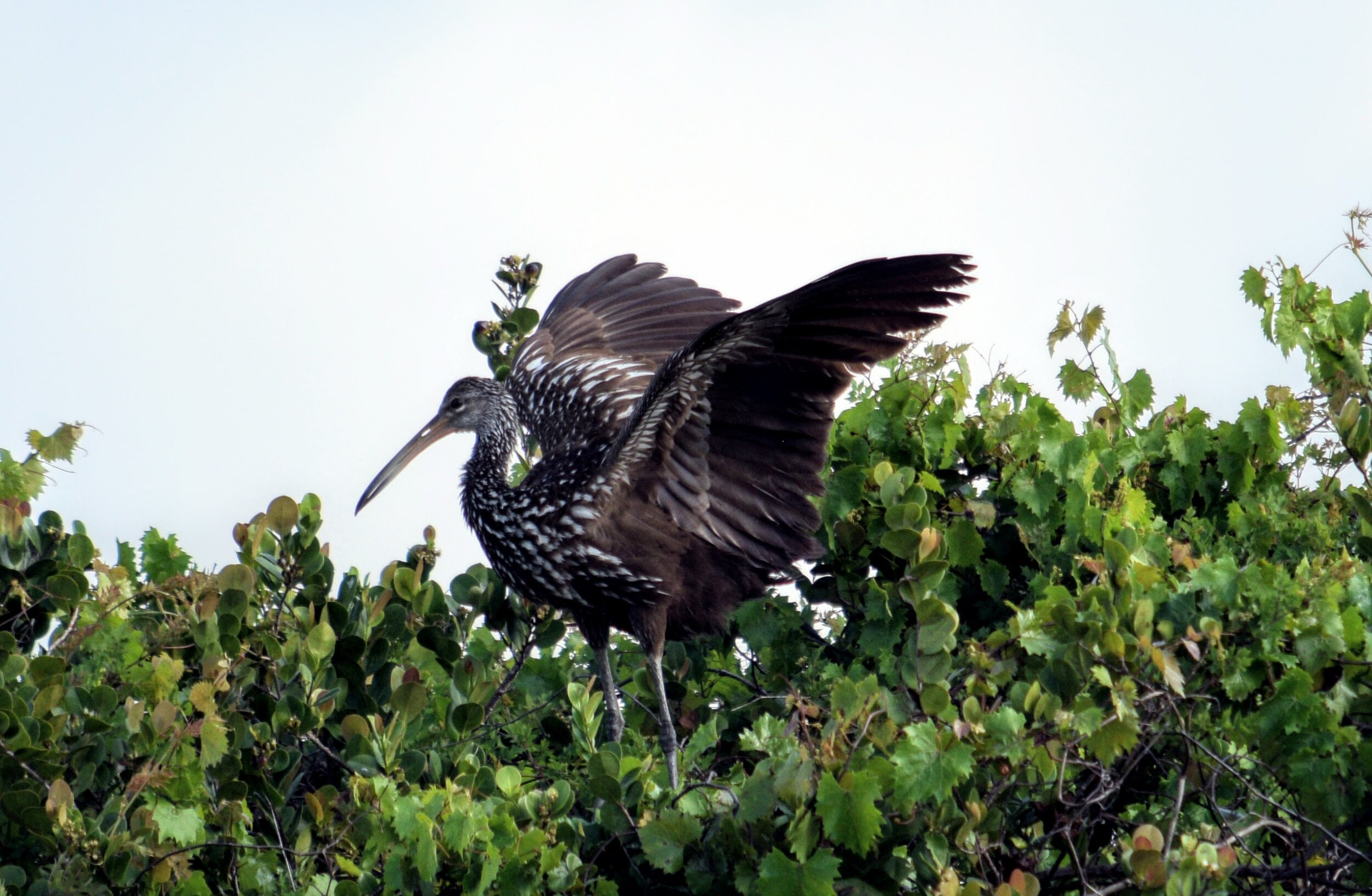 Limpkin (Photographed by Ron Force)