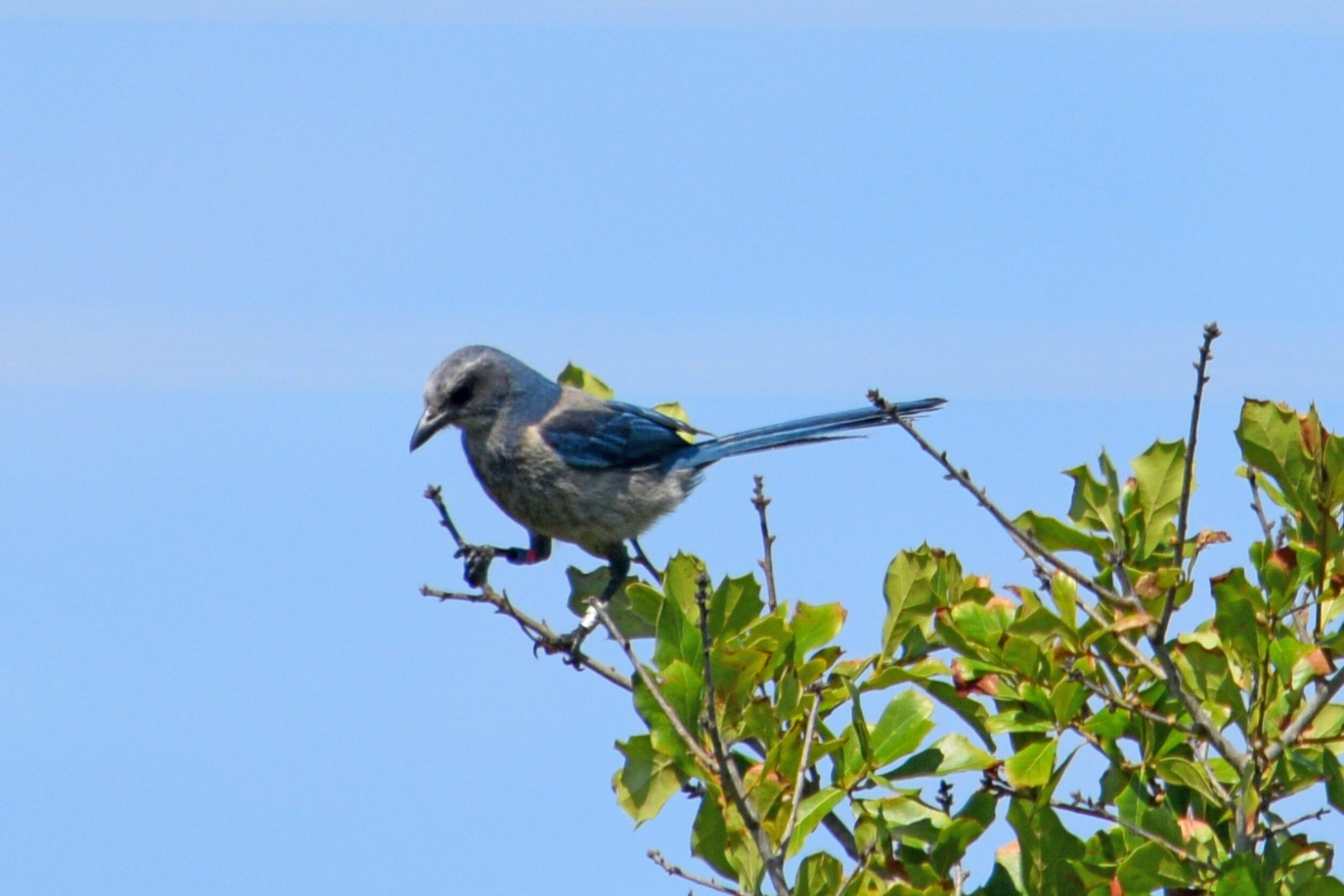 Florida Scrub-Jay (Photographed by Ron Force)