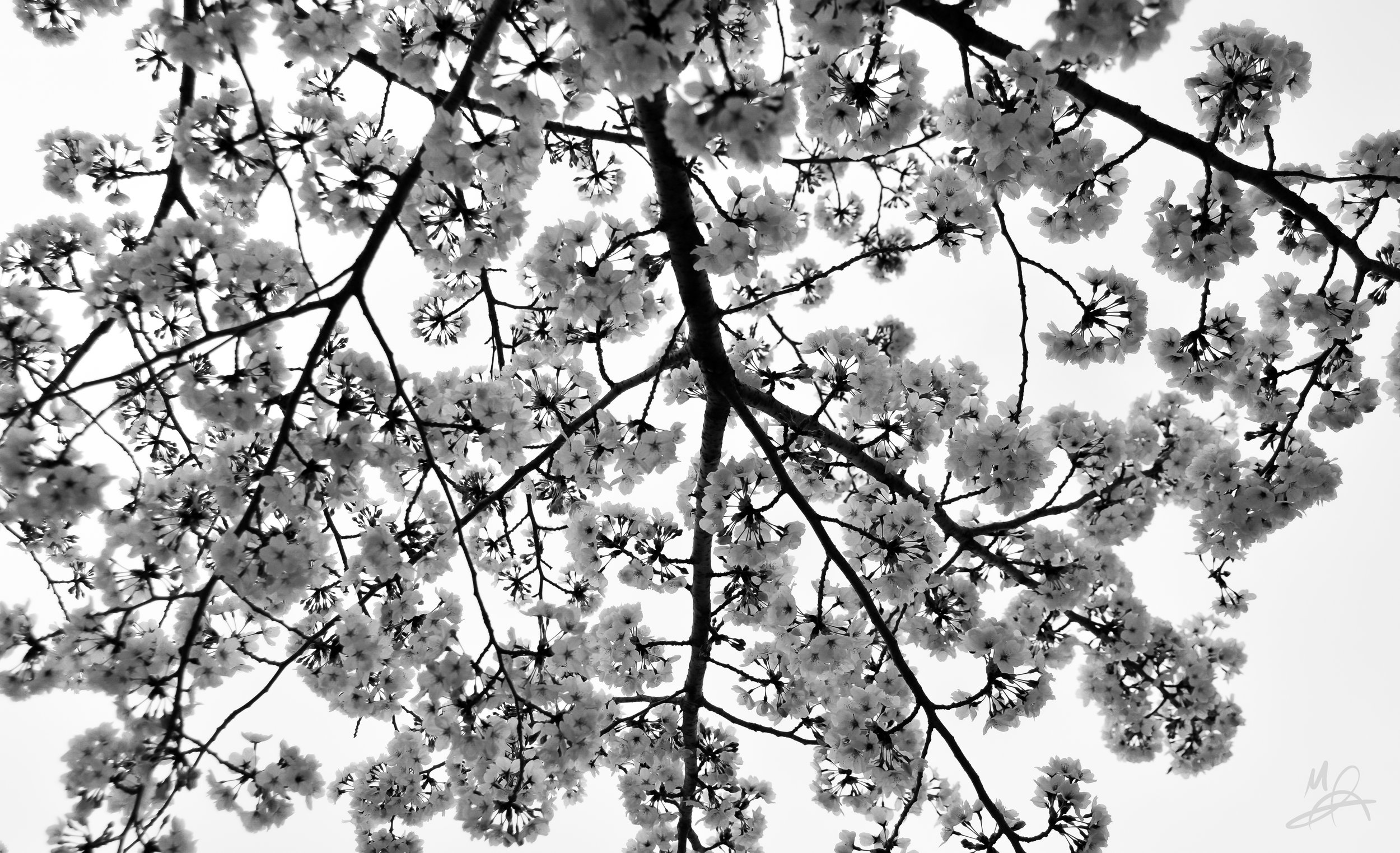Blossoms from below