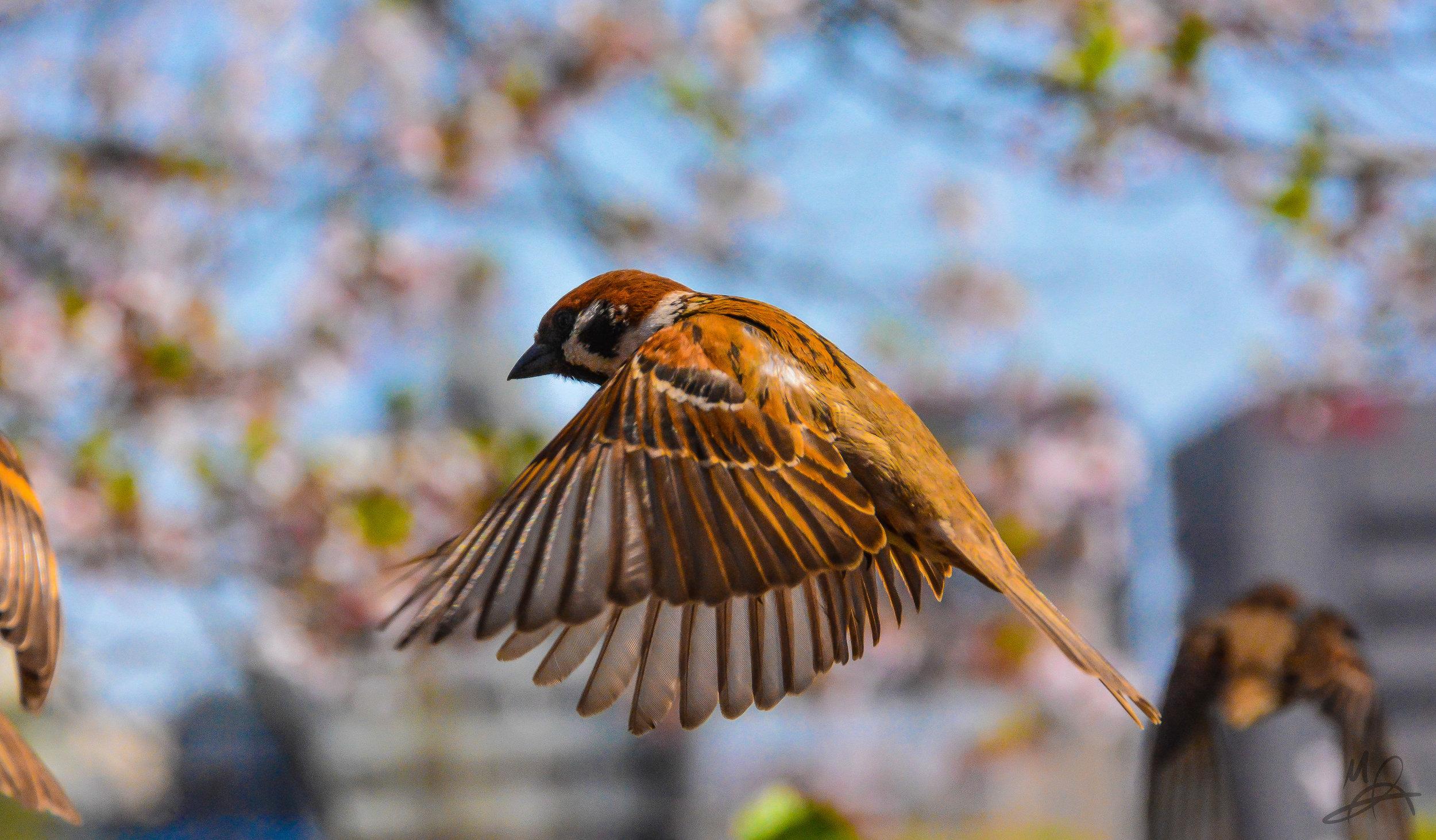 Sparrow, mid-flight