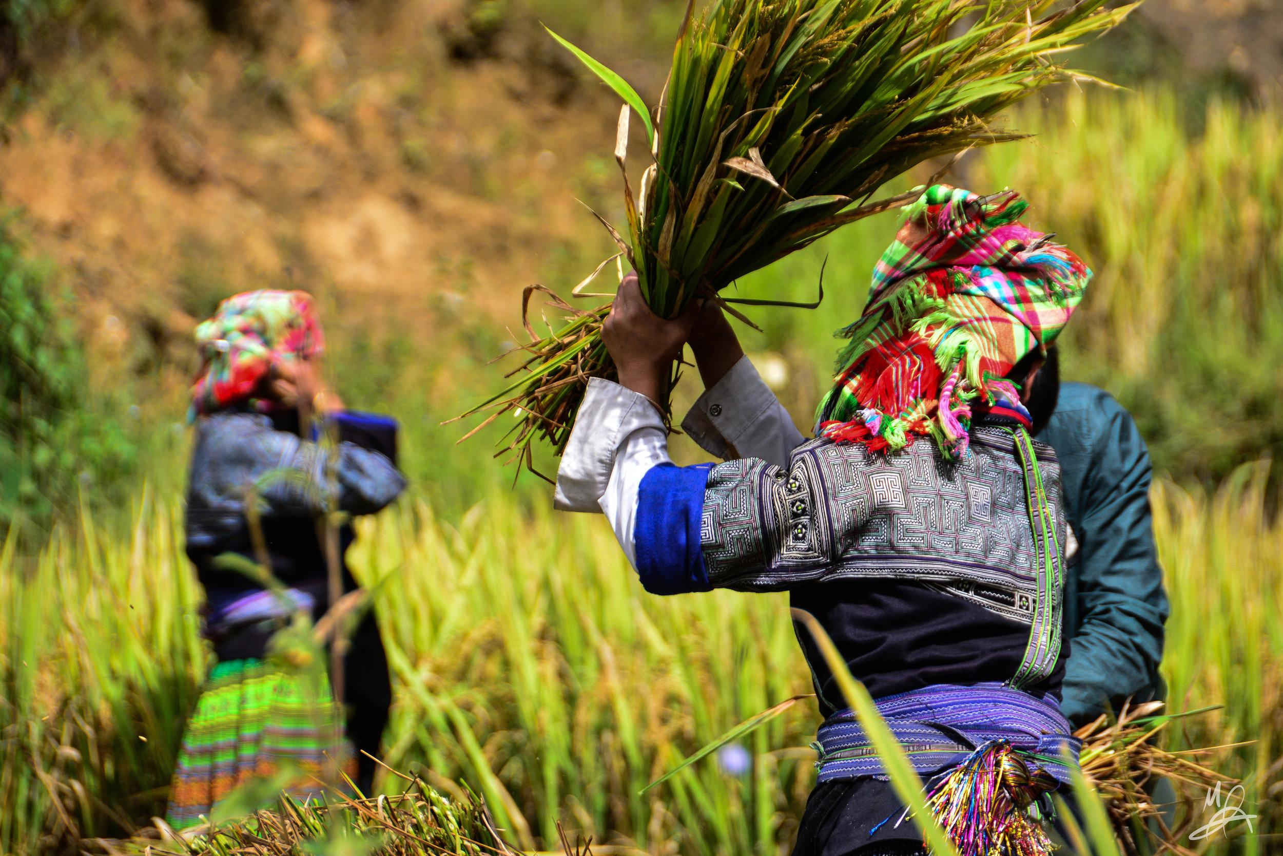 Hmong rice farmers 1