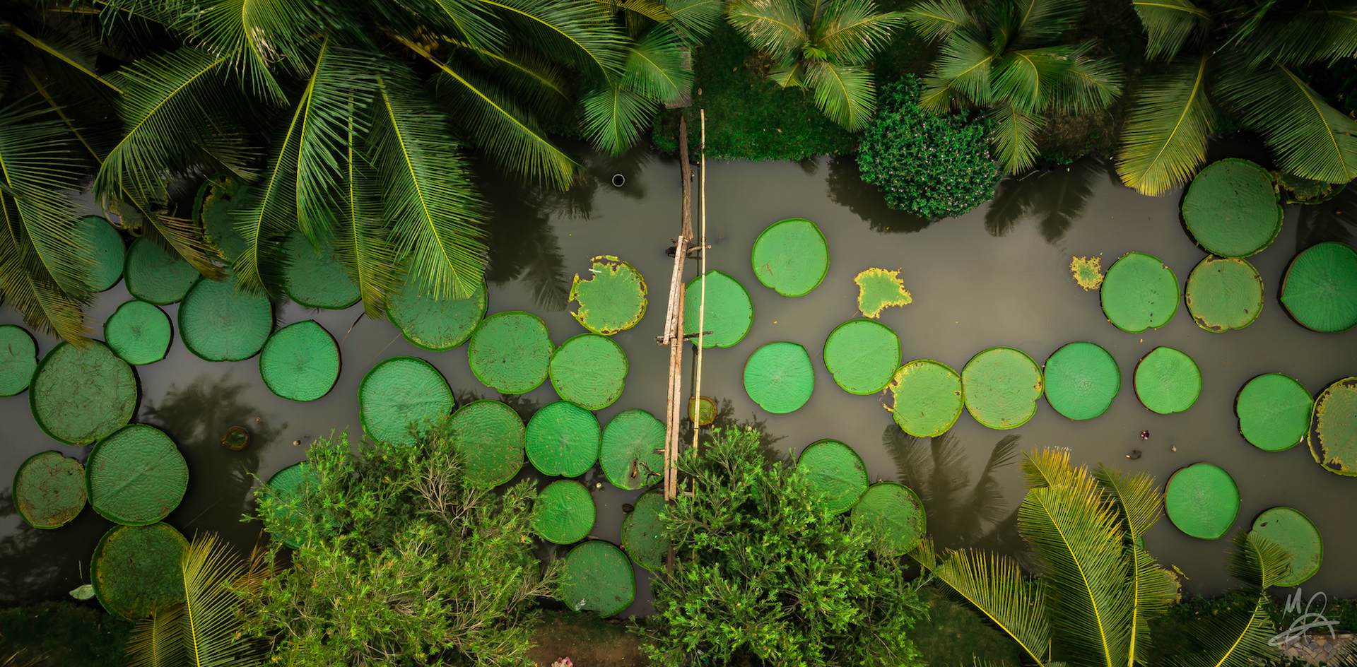 Lily Pads 1/2