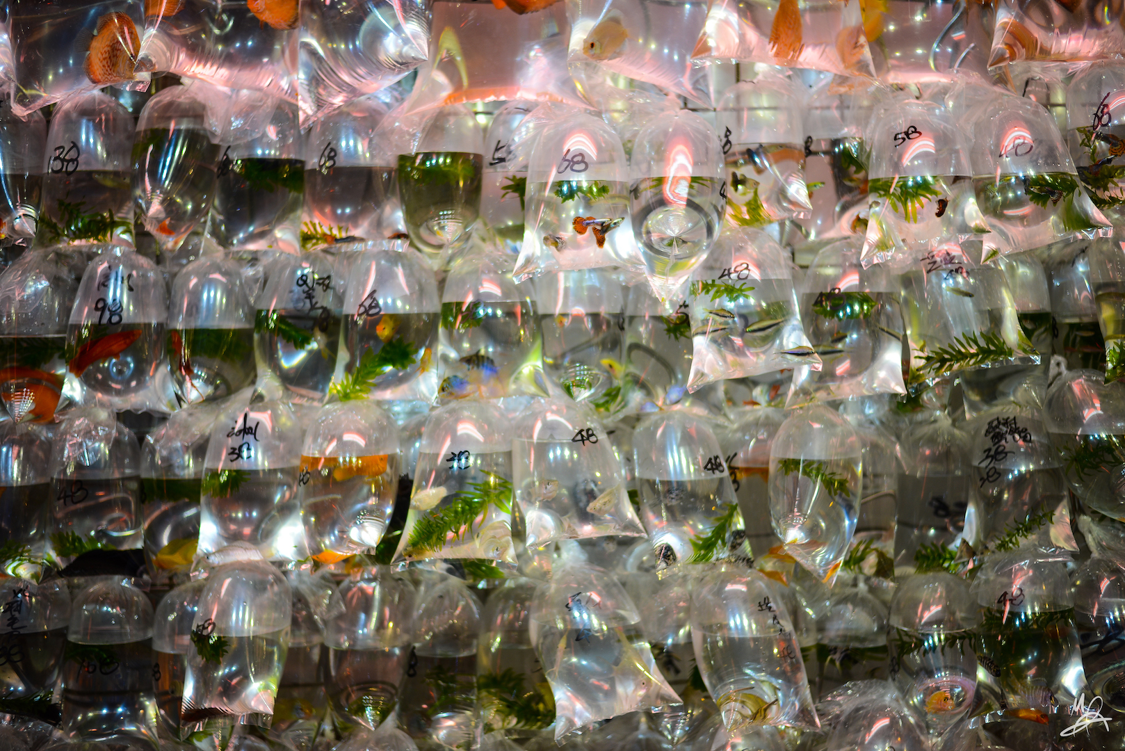 for sale: a wall of bagged fish