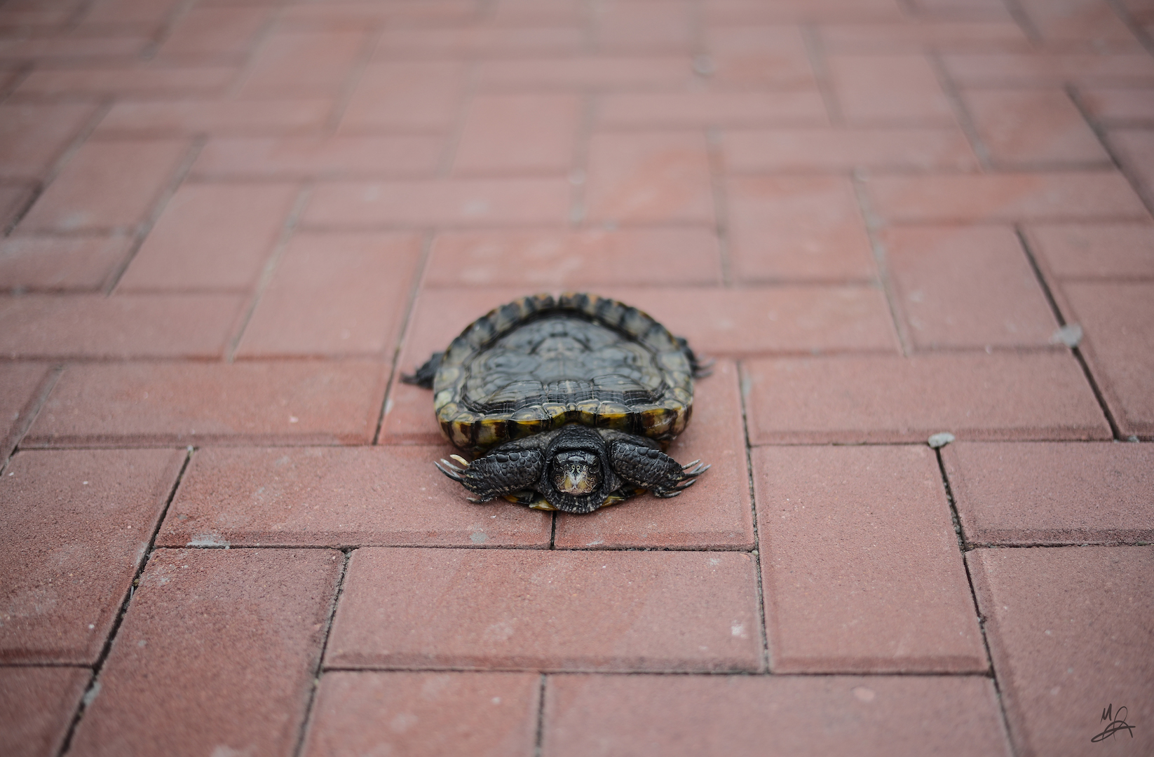 terrapin on the streets
