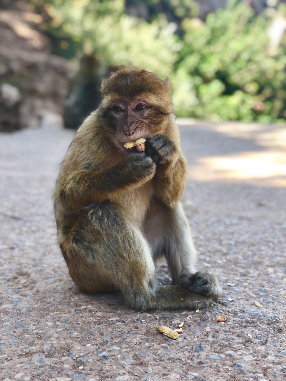 Monkey eating nuts in Ouzoud, day trip from Marrakech Morocco