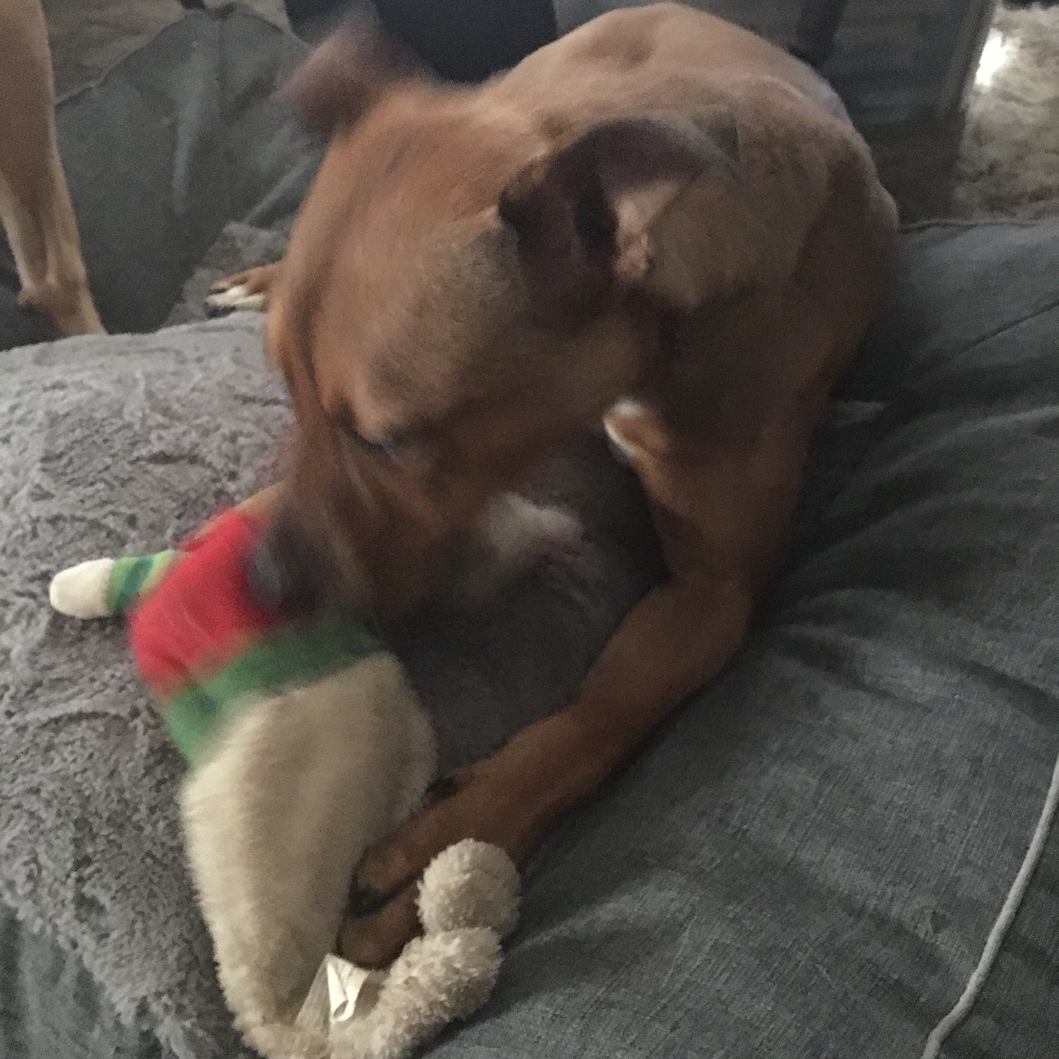 December 2018 - Murphy 1st Christmas with us. As you can see, he is on his bed playing with a stuffed toy. Pic December 2018.