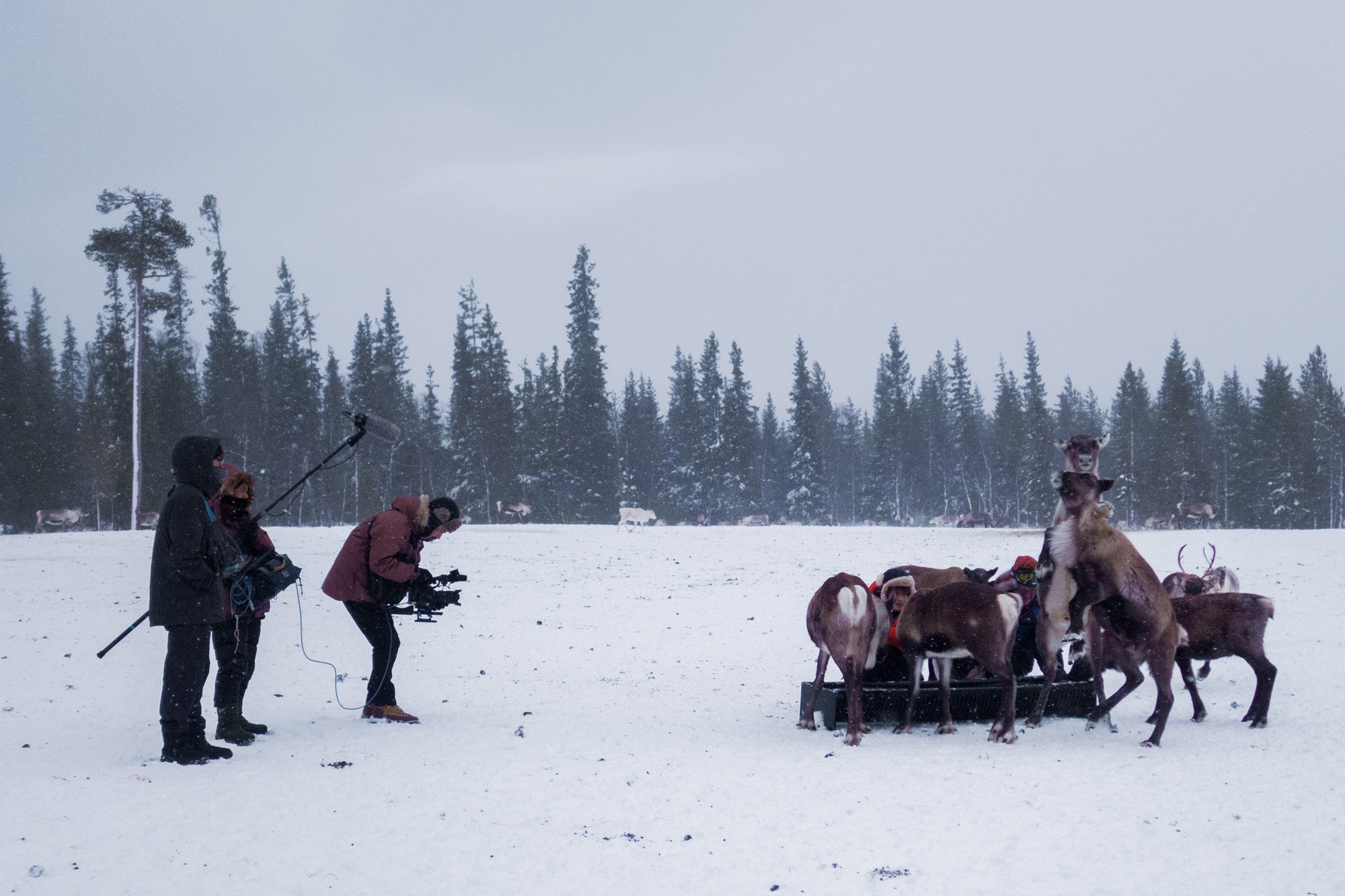 Feeding the reindeer. トナカイにエサあげましょう。