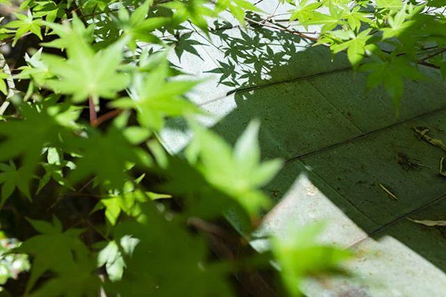 Maple leaves in Kyoto, green with the vigour of Spring. 京都の青紅葉。  #京風 #青紅葉 #京都旅行 #京 #古都 #春の京都 #写真すきな人と繋がりたい #写真好きです #写真を撮っている人と繋がりたい #写真を撮る #美夜寝 #ビョルネホフ #bjornehoff #kyotospring #aomomiji #norskefotografer #norskefototalenter #norgesfotografer #bjørnehoff #shadowphotography #kyotojapan #kyototravel