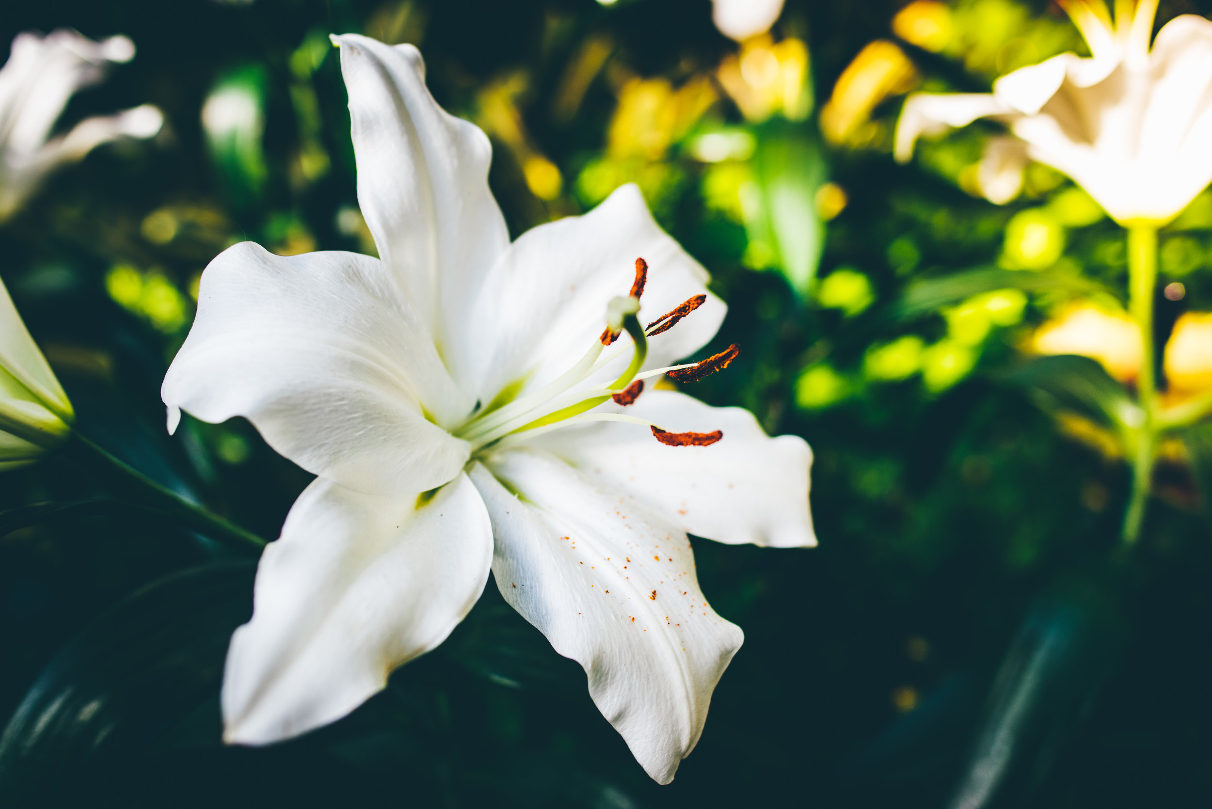 A mark of purity and grace throughout the ages, the regal  white lily  is a fitting symbol of the greater  meaning  of  Easter . Gracing millions of homes and churches, the flowers embody joy, hope and life. Learn more at  aggie-horticulture.tamu.edu