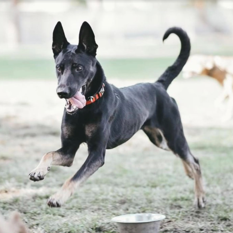 Legend Belgian Malinois California Rescue.png