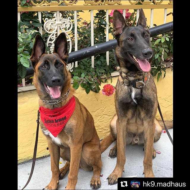 #Repost @hk9.madhaus with @make_repost ・・・ Logan and Mango are still looking for their forever homes! Not sure about adopting or being a full time dog parent? Then fostering may be a good step in deciding if you're ready to take on 1. This breed and 2. A pet in general. Fostering helps to give a temporary home to a pet in need. Lots of dogs unfortunately get put down daily for many reasons, not enough space, money, or rescuers not having foster home to put the dogs in. Want more info on how you can become a fostering hero? Go to @socalmalinoisrescue and apply today!