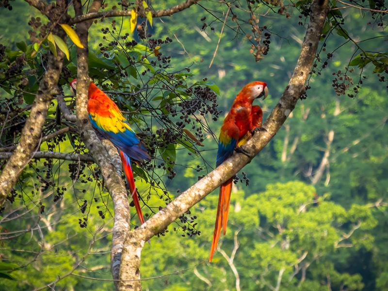 parots-costarica-lunalodge-1.jpg