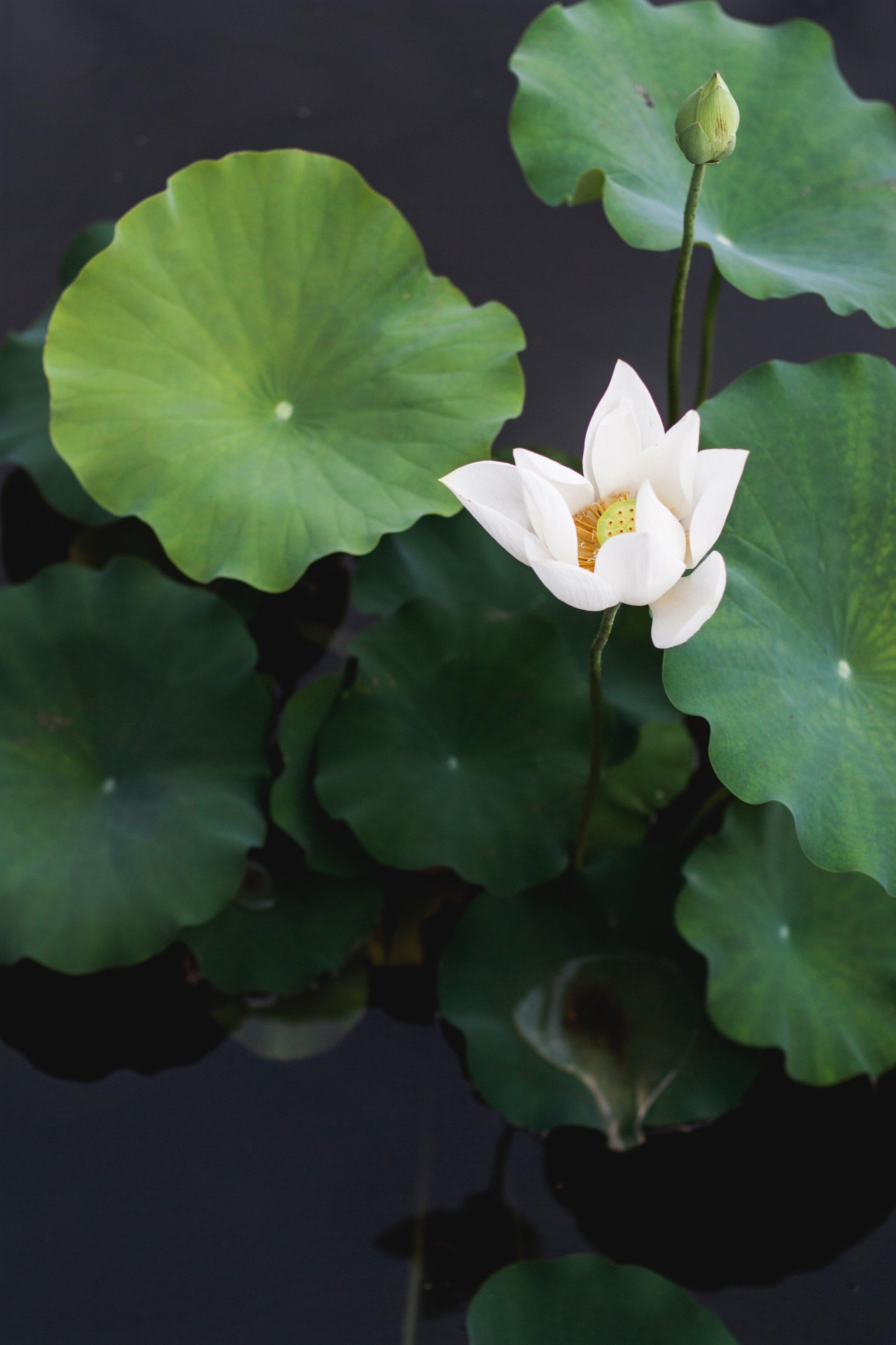 No mud No Lotus -